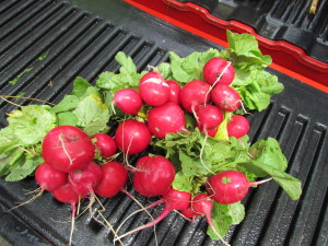 "Choice Roots Farm - Rover ""Red"" Radishes, a Choice Roots staple vegetable."