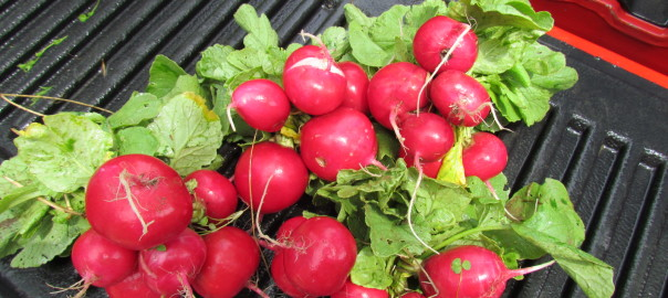 "Choice Roots Farm - Rover ""Red"" Radishes"