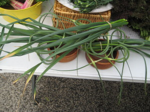 Garlic Scapes from Choice Roots.